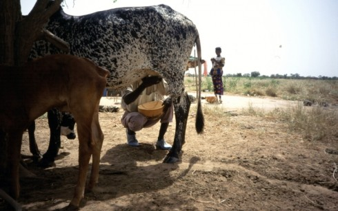 Fulani man milking a cow